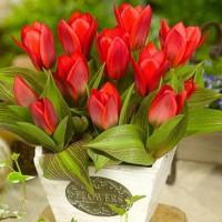 tulpes showwinner
