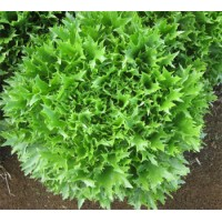 Salātu sēklas Frillice (100s)