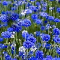 Rudzupuķes Blue Boy 10g
