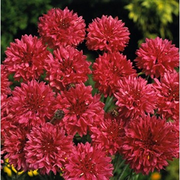 Rudzupuķes Red Ball 2g