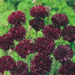 Rudzupuķes Black Ball 2g