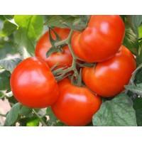 Lauka tomāti POLBIG F1 20s