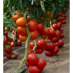 Lauka tomāti BOBCAT F1 20 sēkl. (Lauka tomāti)