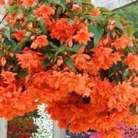 Begonija Pendula Orange 1 sīpols