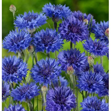 "Rudzupuķes ""Blauer Jungle"""