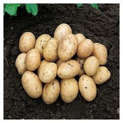 Sēklas kartupeļi COLOMBA 2kg (Sertificēti)