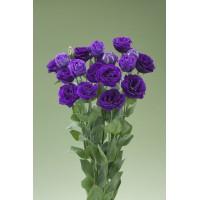 Lizante (Eustoma) Mariachi Misty Blue 10s