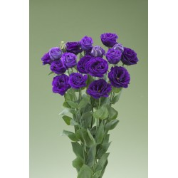 Lizante (Eustoma) Arena Purple 10s