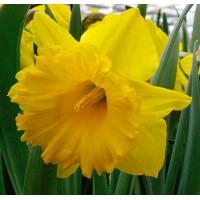 Narcises Eclatant 4gb