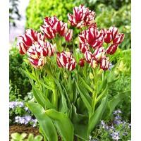 Tulpes Lucky Strike 5gb