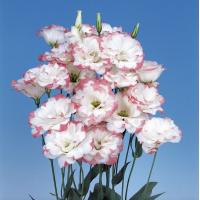 Lizante (Eustoma) Echo Pink Picotee 10s
