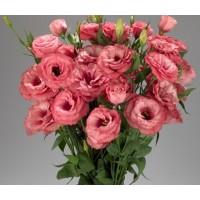 Lizante (Eustoma) Rosita 2 Apricot 10s