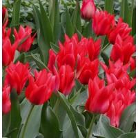 Tulpes TORONTO 5gb