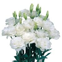 Lizante (Eustoma) Rosita Green 10s