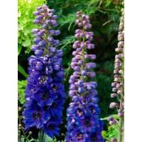 Delfīnijas Magic Fountains Dark Blue/Dark Bee (10 sēklas)