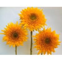 Saulespuķes Gemini Summer (20 sēkl).