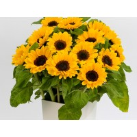 """Saulespuķes """"Vincent's Choice"""" (20 sēkl)."""