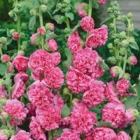 """Kāršroze """"Chater's Rose"""" 0,5g"""